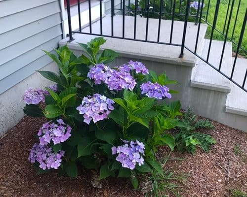 Porch steps, purple hydrangeas
