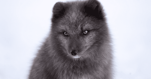Young Black Fox