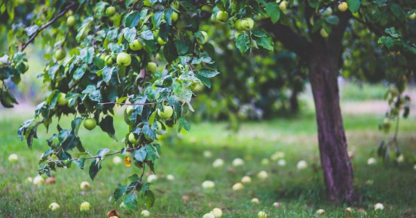 apple tree with apples; apples on the grass.